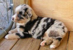 These 33 Dogs With The Most Unique Coats On Earth Took My Breath Away. My Favorite Is #7!: Australian Shepard, Animals, Puppies, Dogs, Pet, Puppys, Blue Merle, Australian Shepherd, Aussie