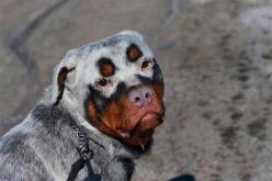 These 33 Dogs With The Most Unique Coats On Earth Took My Breath Away. My Favorite Is #7!: Rottweilers, Animals, Dogs, Color, Unique Coats, Pets, Funny, Puppy