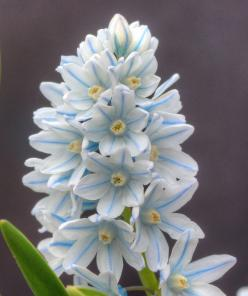 These blossoms are so pretty and delicate with their pale blue stripes and little yellow centers.: Flowers Landscaping Gardening, Amazing Flowers, Blue Flowers, Posts, Beautiful Flowers, Ahhhh Flowers, Photo