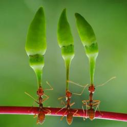 These industrious ants are carrying the chili peppers....amazing: Animals, Chili Peppers, Chilli Peppers, Yahya Taufikurrahman, Ants Lift, Photo, Hard Working Ants, Lift Huge