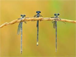 ♥ these little dragonflies look happy: Animals, Nature, Bugs, Butterflies, Creature, Insects, Photo, Dragonflies