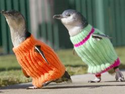 These penguins were fitted in these sweaters to prevent them from preening their oily bodies after the oil spill. Sad, but so cute!: Penguin Sweaters, Animals, Wearing Sweaters, Oil Spill, Pet, Funny, Adorable, Things, Penguins Wearing