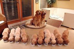 These proud parents. | 42 Adorable Things To Take Your Mind Off The World Imploding: Animals, Dogs, Golden Retrievers, Family, Pet, Puppys, Puppy, Families, Golden Retriever