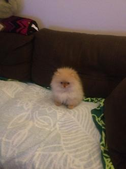 This ball of fur is a little pom!: Animals, Beds, Guy, Cutest Fluffball, Bed Bugs, Baby, Dog, Sleep Tight