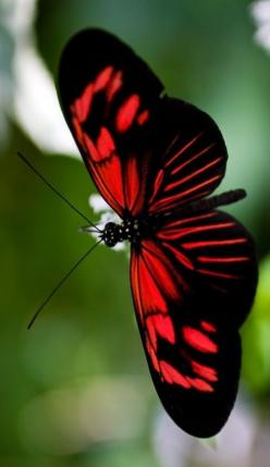 This butterfly is truly a red and black breathtaking beauty!  Isn't Nature incredible with her paintbrush?: Beautiful Butterflies, Red, Flutterby, Animal