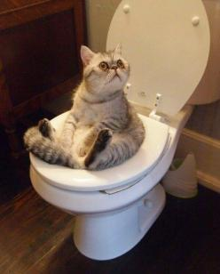 This cat hanging out on the toilet. | 31 Animal Pictures: Funny Animals, Stuff, Toilet, Funny Cats, Pet, Crazy Cat, Funnies, Kitty