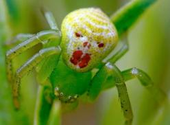 "This clown spider (Theridion grallator) just wants a kiss!  This species is often referred to as the ""happy faced spider"" because certain morphs have a pattern uncannily resembling a smiley face or a grinning clown face on their yellow body. They&"
