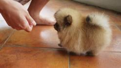 This cream sable pomerian is cute and a tiny walking furball.: Fur Ball, Cute Animals, Walking Furball, Pomeranians, Sable Pomeranian, Baby Pomeranian, Pomerian Puppy, Fluff Ball