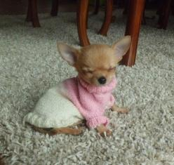 This dog who was almost ready to greet the morning with a smiling face but decided more sleep would be better.: Puppies, Animals, Dogs, Sweet, Chihuahuas, Pets, Adorable, Puppy, Baby