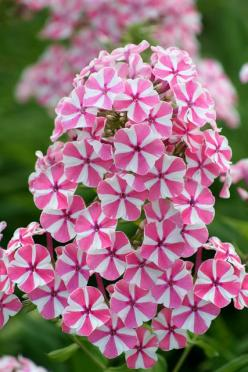 This flower is the inspiration for a quilter's pinwheel block. Phlox paniculata 'Natascha'. #Design #Quilting #Inspiration www.marycoveydesigns.com: Pink Flowers, Phlox Paniculata, Flowers Phlox, Beautiful Flowers, Flowers Flores, Bloom