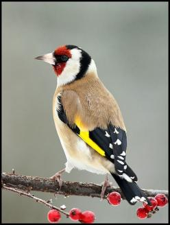 This goldfinch must be from another country. NoDak only has the yellow goldfinch which people call a canary -drives me nuts when they do that...: Poultry, Birdie, Sandor Bernath, Photographer Sandor, Beautiful Birds, European Goldfinch, Animal