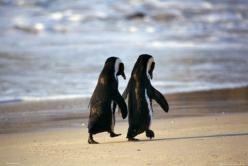 This is a 'must have' for the gallery wall. We had this image on our wedding invitations. Obsessed with penguins :): Penguins Beach, Penguins Poster, Friends Sweet, Penguin Friends, Penguins Mate, Things, Penguin Bestfriends, Friends Baby Animals,