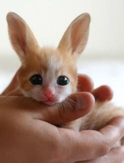 This is a Fennec Hare...he looks like a kitty bunny. I want one!: Rabbit, Cat, Animals, Fennec Fox, So Cute, Fennec Hare, Baby Fennec, Bunnies, Cutest Animal