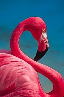 This is a good example of an 'S' curve. The neck of the flamingo makes a clear S shape.: Animals, Pink Flamingos, Flexible Flamingo, Color, Pretty Pink, Art, Birds