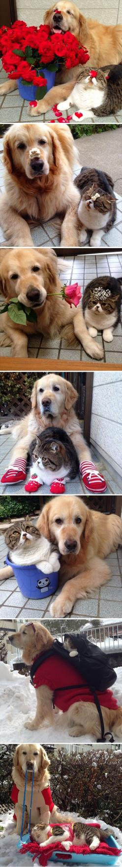 This is a patient duo.: Cuteness Overload, Best Friends, Dogs And Cats, Bestfriends, Pet, Bffs, Cats And Dogs, Golden Retriever, Animal