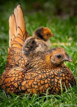 This is a Wyandotte hen with chick. This breed comes in many color combinations - this being my personal favorite.#Favoritehttp://slimmingtipsblog.com/how-to-lose-weight-fast/: Farm, Animals, Beautiful, Baby, Hens, Birds