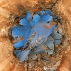 This is by the photographer, Michael L. Smith. It is available at www.themadbluebird.com It's called Birds of a Feather. One of the most beautiful nature photographs I have ever seen.: Animals, Bluebirds Roosting, Nature, Baby, Beautiful Birds, Blue B