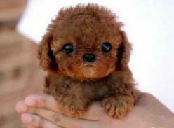 This is like a teddy bear and a puppy all in one.  I might explode into rainbows and glitter from all the cuteness.: Animals, Dogs, So Cute, Pets, Puppys, Adorable, Puppy, Baby