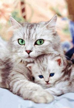 This is sweet! ღ¸.•*¨`*•.•❥: Cats, Animals, Kitty Cat, Mothers, Sweet, Pet, Baby, Kittens, Eye