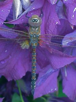 This is the first dragonfly I've seen similar to the one in my Lilac Lover photo.: Dragonflies Fairies, Butterflies Dragonflies, Dragonflies Damselflies ️, Dragon Fly Photo, Dragonflies Butterflies, Bugs Dragonfly, Dragonfly Libelle Tutubi, Dragonflie