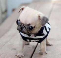 """This isn't cute, this is sad. Pugs already suffer from multiple eye and nasal problems because of their breeding, but turning them into """"teacup"""" dogs pushes it too far. These dogs bred to be forever small and """"cute"""" suffer in pain thei"""