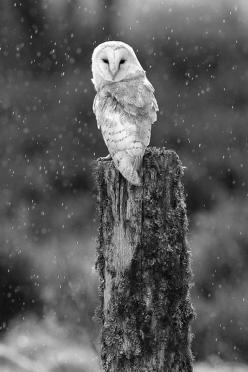 this kinda makes me a touch eager for a very EARLY winter camping experience.: Animals, White Owls, Creatures, Barnowl, Birds, Snowy Owl, Photo, Barn Owls