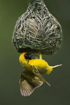 This little bird is weaving his/her own nest.: Bird Nests, Beautiful Birds, Animal
