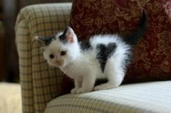 This looks just like Chevy when he was a kitten. Awe.: Kitty Cats, Animals, Heart, Kitty Kitty, Adorable, Baby, Kittens, Kitties
