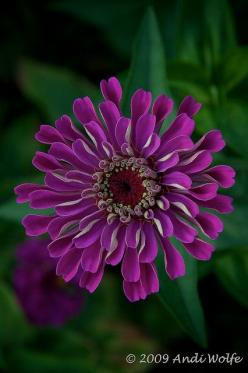 This Pin was discovered by Christina Polites. Discover (and save!) your own Pins on Pinterest.: Zinnias, Andiwolfe, Flowers Plants, Photo Sharing, Beautiful Flowers, Purple Color, Garden, Purple Flower