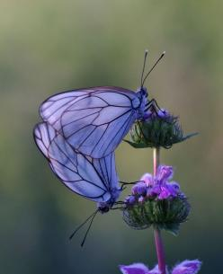 This proves nature is far more capable of art than any human although L.C. Tiffany came pretty close.: Beautiful Butterflies, Animals, Nature, Purple Butterfly, Flutterby, Flower
