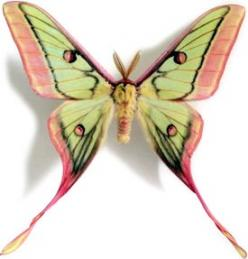 This rare moon moth is half Spanish and half Chinese (Graellsia isabellae x Actias dubernardi ): Butterflies Dragonflies, Moon Moth, Rare Moon, Chinese Graellsia, Half Spanish, Half Chinese, Beautiful Moth