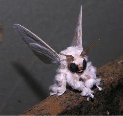 This Rare Photo Of A Venezuelan Poodle Moth  Visst ser den mjuk och len ut att man vill stryka på den.: Animals, Bugs, Nature, Creatures, Venezuelanpoodlemoth, Venezuelan Poodle Moth, Insects, Photo