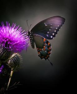 Thistles and butterfly: Beautiful Butterflies, Animals, Purple, Nature, Flutterby, Moth, Flower