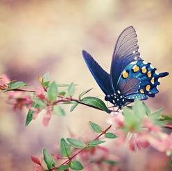 Those of you who know me....know my little obsession with these creatures....this one is gorgeous!: Beautiful Butterflies, Butterfly, Blue Butterfly, Nature, Flutterby, Flower, Animal