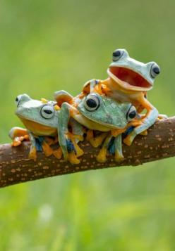 ~~Three Reinwardt's flying frogs, commonly known as the black webbed tree frog or the green flying frog, pose for the camera | Hendy MP/Solent~~: Animals, Nature, Tree Frogs, Reinwardt S Flying, Webbed Tree, Photo, Black Webbed