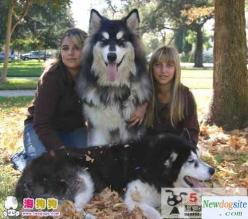 Tibetan Mastiff-Siberian Husky mix: huge dogs - I guess this is what would happen if I combined my TM and husky: Giant Alaskan, Animals, Dogs, Giant Malamute, Malamute, Dog Breeds