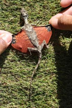 Tiny dragon discovered in Indonesia.  She was found laying eggs in a nest in the Lambusango Forest reserve and was immediately released after this photograph was taken.  Species may be related to the species Draco Volans, and no word yet on whether or not