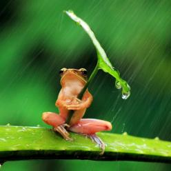 ~ Tiny frog using a leaf as an umbrella during a harsh rain in East Java, Indonesia. photo by Penkdix Palme~: Animals, Umbrellas, Leave, Nature, Frogs, Photo, Rain