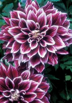 Tips from a way to garden on dahlias Sellwood Glory dahlia at Old House Gardens: Gorgeous Tattoo, Dahlias Sellwood, Heirloom Dahlia, Glory Dahlia, Dahlia Flower Tattoo, Beautiful Flowers, Old Houses, House Gardens, Pretty Flower