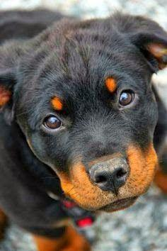 Top 05 Most Obedient Dog Breeds | Cute Dogs and Cats: Rottweilers, Baby Rottie, Sweet, Dogs, Rottie Puppy, Animal, Eye