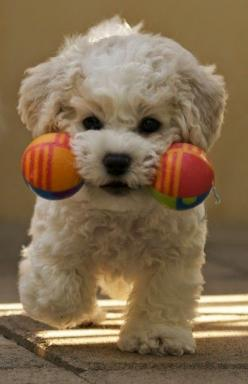 Top 10 Best Hypoallergenic Dog Breeds....link has now been blocked, but what a sweet photo!: Doggie, Animals, Cute Puppies, Dogs, Toy, Bichon Frise, Pets, Puppys, Box