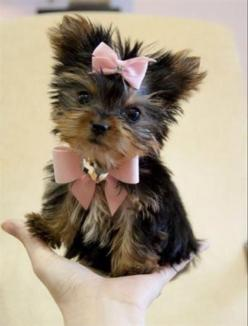 Top 10 Naughtiest Dog Breeds: Animals, Dogs, Sweet, Teacup Yorkie, Pets, Puppys, Box, Baby