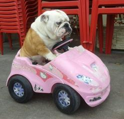 Top 10 Reasons Why Owning An English Bulldog Is The COOLEST Thing Ever - Page 5 of 11 - PawBuzz: Hello Kitty Car, Animals, Puppies, Pet, English Bulldogs, Funny, Puppy, Bull Dogs