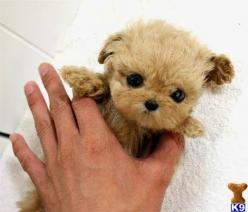Top 10 Smallest Dog Breeds: Animals, Dogs, Teacup Puppies, Mini Poodle, Pets, Adorable, Puppy, Teacup Poodles, Photo