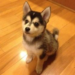 Top 20 Cutest Dog Breeds around the World | entertainmentaroundtheworld: Pomeranian Husky, Animals, Puppies, Dogs, Pet, Puppys, Pomsky Puppie, Dog Breeds