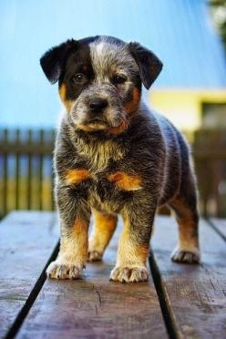 Top 5 Healthiest Dog Breeds follow my profile and check more on my website: Animals, Australian Cattle Dog, Puppys, Blue Heeler, Cattle Dogs, Australiancattledog, Heeler Pup