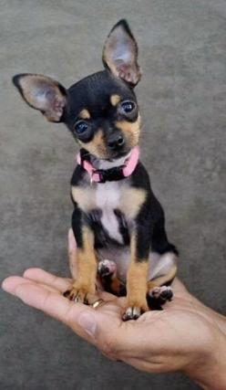 Top 5 Smallest dog breeds | Breed#03 Pinned from Chris Dangtran and houseofpets.info: Animals, Dogs, Chihuahuas, Chihuahua Puppies, Pet, Puppy