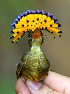 Totaly Outdoors: Royal Flycatcher - Haute Couture Hat: Royals, Creature, Birdie, Animals Birds, Beautiful Birds, Haute Couture