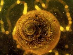 Triassic Mites Join World's Oldest Amber Animal Finds (Pictures): Amber Animal, Bones Fossils, Amber Preserved Snails, 125 Million Year Old Snail, Amber 100, Amber Pictures, Amber Deposit, Amber 125