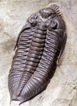 Trilobite fossil. Over 17,000 known species roamed the oceans for over 270 million years. All gone now...: Fossilized Trilobite, State Fossil, The Ocean, Dinosaur Fossils, Nature Fossils, Archeology Fossils, Dinosaurs Fossils, Trilobite Fossil